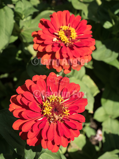 Opening day 78th Amador County Fair, Plymouth, Calif.<br /> <br /> Zinnia flowers