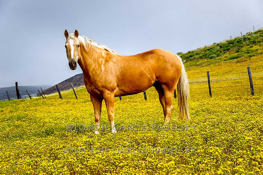 Palomino Horse in wildflowers. San Luis Obispo, California