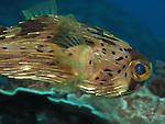 Chai Kou, Green Island - Balloonfish, Diodon holocanthus.