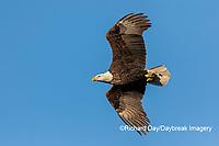 00807-03617 Bald Eagle (Haliaeetus lecocephalus) in flight Clinton Co. IL