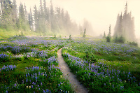 Trail through wildflowers with fog. Mt. Rainier National P:ark, Washington