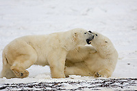 01874-11305 Polar Bears (Ursus maritimus) sparring, Churchill Wildlife Management Area MB