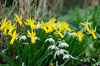 Narcissus 'Mite'