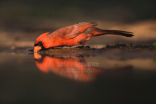 Northern Cardinal (Cardinalis cardinalis),male drinking, Rio Grande Valley, Texas, USA