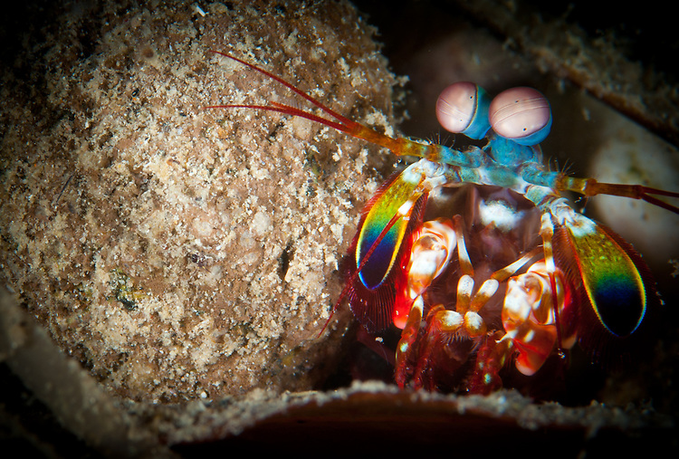 peacock mantis shrimp: Odontodactylus scyllarus, pearing from behind a rock, Gorontalo, Sulawesi, Indonesia