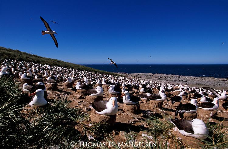 Black-browed Albatross colony on South Georgia Island.