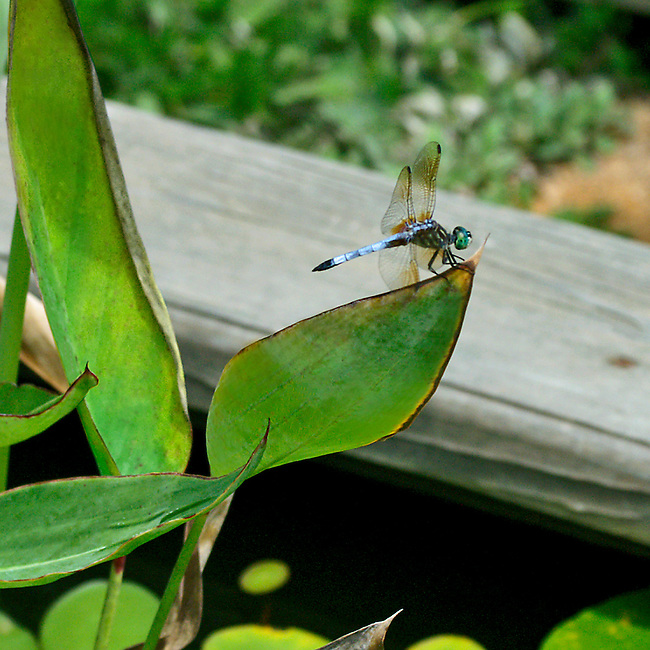 A Blue Dasher dragonfly purched on the tip of a lieaf a water plant in a pond at the Noirth Carolina Botanical Gardens. The dragonflies bright green eyes and irridescent blue tail stand out agains the grey wood of the pond's frame.