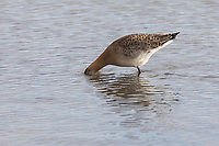 Pfuhlschnepfe, Pfuhl-Schnepfe, Schnepfe, Pfuhlschnepfen, Limosa lapponica, bar-tailed godwit, La Barge rousse