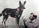 Merited Artist of the Russian SFSR Vladimir Durov watching a dog during an experiment.