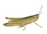 Lesser Marsh Grasshopper female - Chorthippus albomarginatus