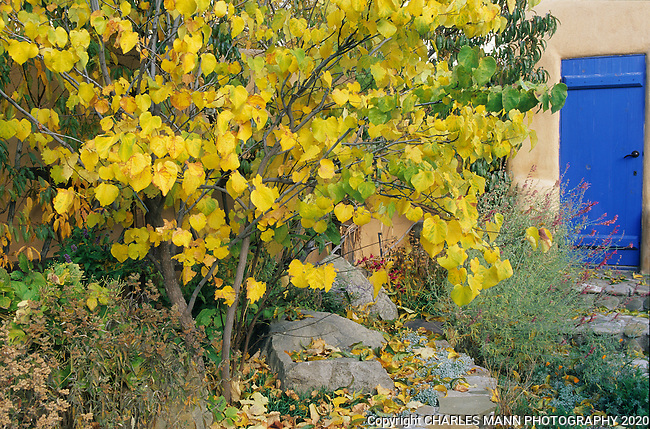Susan Blevins of Taos, New Mexico, created an elaborate home garden featuring containers, perennial beds, a Japanese themed path and a regional style that reflectes the Spanish and pueblo architecture of the area. A redbud tree, Cercis canadensis, turns yellow to offer a dramatic contrast with a blue wooden door adn a stucco wall in the front garden.