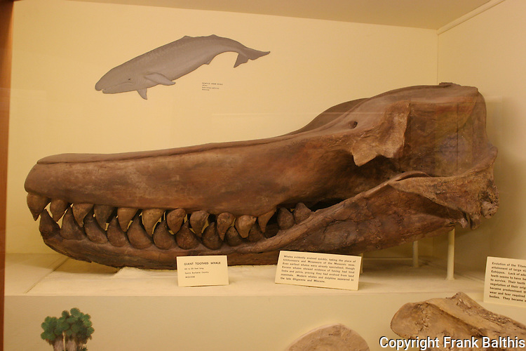giant toothed whale