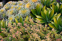 Aeonium 'Sunburst', Agave attenuata 'Kara's Stripes' and flowering Aeonium 'Blushing Beauty', Variegated foliage succulents