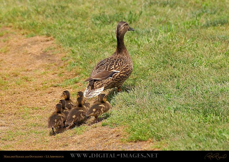 Mallard Female and Ducklings, LA Arboretum, Southern California
