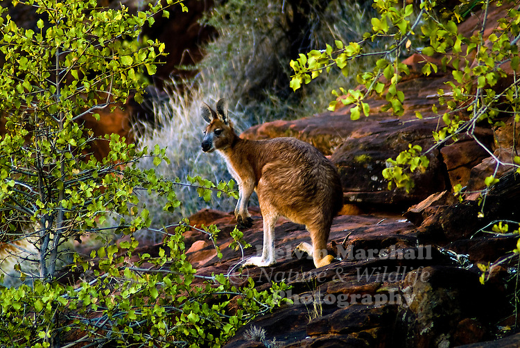 Common Wallaroo ( Macropus robustus ) this species is commonly found in the Palm Valley region of the Finke Gorge National Park.