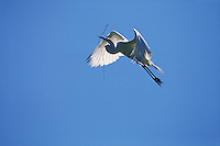 Great egret in flight with twig for nest.