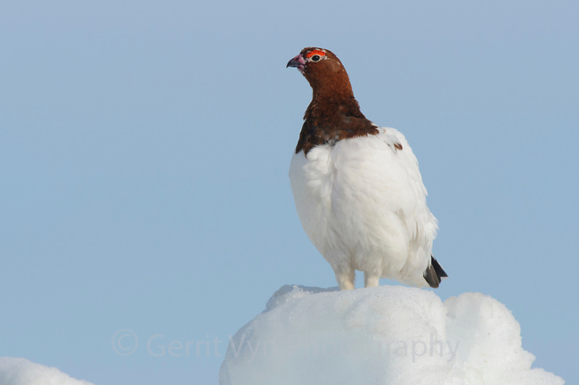 Adult male Willow Ptarmigan (Lagopus lagopus) in spring. Males retain the white body plumage of winter plumage and molt the head and neck feathers to the russet brown summer plumage during the spring courtship period. Seward Peninsula, Alaska. May.