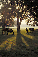 Group of Arabian fillies under backlit Live Oak tree. Vertical. horse, horses, animals, pasture.