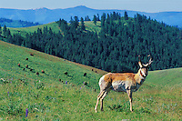 My319  Pronghorn antelope buck with bison in background.  National Bison Range, Montana.  June.