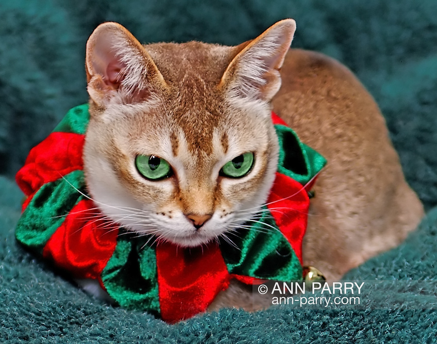 Cute Singapura Cat dressed in red and green velvet Christmas collar