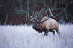 Frosty morning and charging bull Elk (Cervus canadensis)