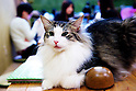 "January 15, 2015, Tokyo, Japan : A cat takes a rest on a table at the ""Temari No Uchi"" Cat Cafe in Tokyo, Japan. Temari No Uchi, a Neko Cafe (cat cafe) based in Kichijoji where visitors can watch and interact with 19 cats whilst eating or having a coffee break. The store opened in April 2013 and allows to customers to play with cats and to escape from the stresses of the city life. The entrance fee is 1200 JPY (9.75 USD) on weekdays and 1600 JPY (12.99 USD) on weekend with discounts after 7pm. Drinks and food are charged separately. According to the shop staff most visitors are Japanese women but also men and children visit this cafe. The fist cat cafe in the world opened in Taipei, Taiwan in 1998, and the fist Japanese store was opened in Osaka in 2004. (Photo by Rodrigo Reyes Marin/AFLO)"