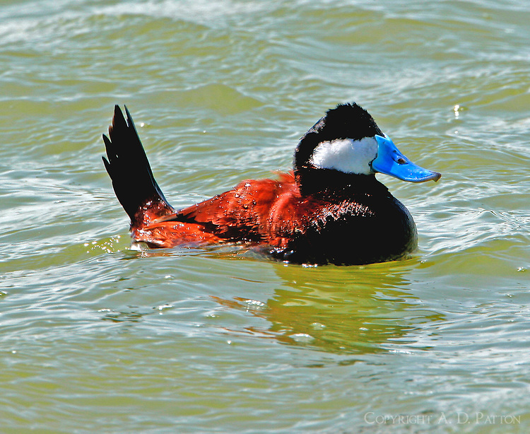 Adult male ruddy duck in breeding plumage, swimming with tail up
