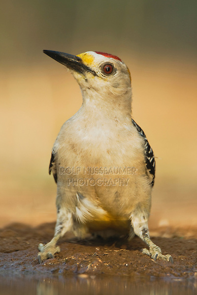 Golden-fronted Woodpecker (Melanerpes aurifrons), male drinking, Rio Grande Valley, Texas, USA