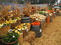 Pumpkins and other gourds in all shapes and colors for cooking or decorating - celebrating Halloween and autumn.