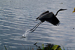 A great blue heron lifts off from Lake Artemesia.