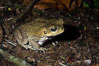Marine Toad or Cane Toad (Bufo marinus) near pond, Playa Bluff Lodge, Panama