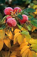 Kartoffel-Rose, Kartoffelrose, Runzel-Rose, Runzelrose, Rose, Früchte, Hagebutte, Hagebutten, Rosa rugosa, Japanese Rose