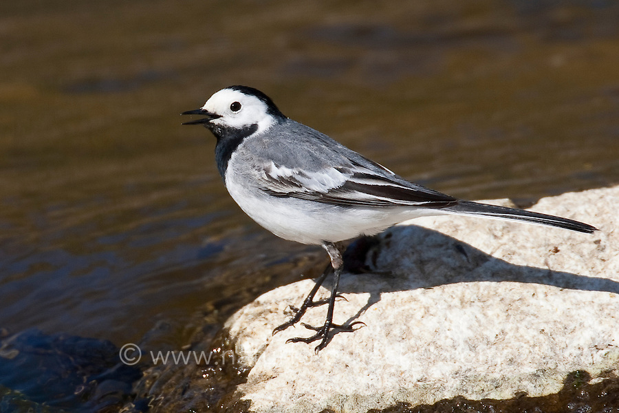 Bachstelze, Bach-Stelze, an einem Bach, Motacilla alba, pied wagtail, pied white wagtail