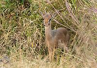 Male Kirk's Dik Dik, Madoqua kirkii, in Serengeti National Park, Tanzania