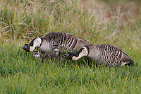 Two nene (Hawaiian geese) protect their two goslings, Hawai'i.
