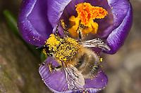 Gemeine Pelzbiene, Pelz-Biene, Frühlings-Pelzbiene, Frühlingspelzbiene, Anthophora acervorum, Anthophora plumipes, über und über mit Pollen bestäubt, Blütenbesuch an Krokus, Nektarsuche, Bestäubung, common Central European flower bee