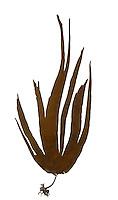 kelp<br /> Laminaria digitata