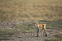 Young caribou calf calls for its mother, Western arctic herd, Utukok Uplands, National Petroleum Reserve Alaska, Arctic, Alaska.