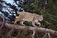 Bobcat (Felis rufus) or (Lynx rufus) walking fallen tree.  Northern Rockies, winter.