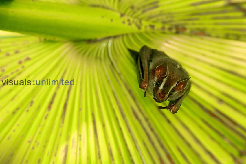 Roosting Bat face, Costa Rica