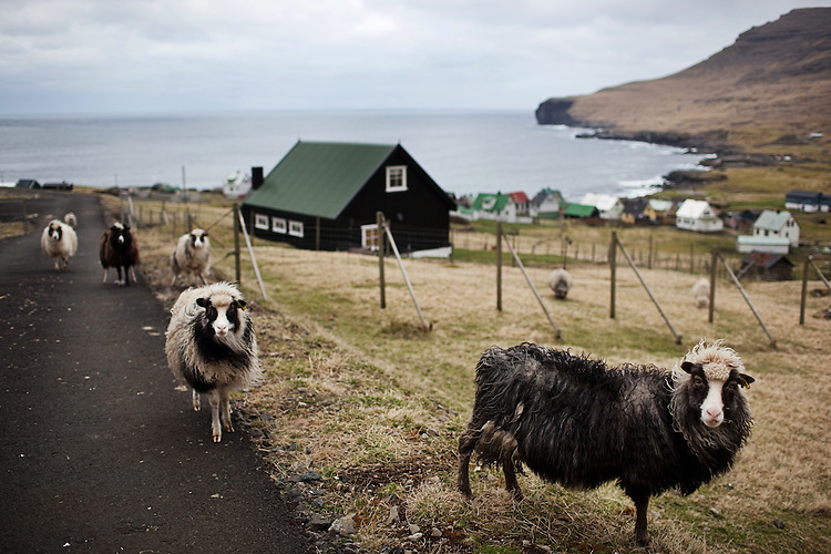 Sheep stand outside of the village of Svínoy in the Faroe Islands.