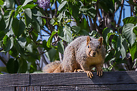 After being caught raiding a backyard bird feeder, an Eastern fox squirrel pauses on the fence assessing just how much trouble it might be in.