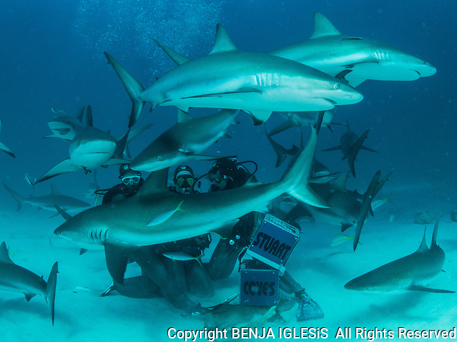 Shark Fedding frenzy Stuart Coves Nassau Bahamas