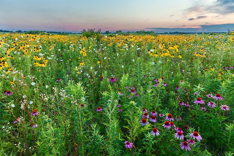 Pale Prairie Coneflower (Echinacea pallida), Drooping Coneflower (Ratibida pinnata), and Whorled Milkweed (Asclepias verticillata) in bloom in summer at sunset in Springbrook Prairie; DuPage County, IL