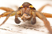 Raft Spider Life Cycle