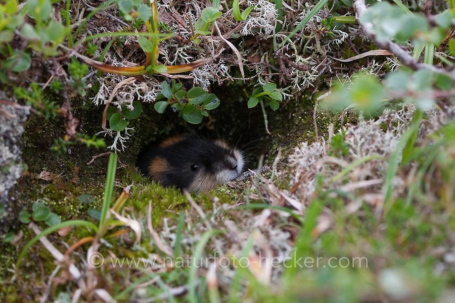 Berglemming, Berg-Lemming, Lemming, Lemmus lemmus, Norway lemming, Norwegian lemming