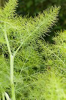 Fenchel, Blatt, Blätter, Foeniculum vulgare, Fennel
