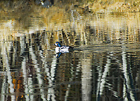 """""""GOLDENEYE ON ABSTRACT WATERS""""<br /> <br /> A male goldeneye duck floats serenely amongst the surreal reflections of aspen trees in autumn. His beautiful blue head is also reflecting.<br /> <br /> 15 x 12.5 fine art paper print, signed and numbered.<br /> <br /> The original giclee on canvas is avaiable.<br /> 1/50 $110.00"""