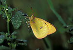 Clouded Yellow butterfly (Colias croceus) - in morning dew, feeding, migrant each year from Southern Europe, mist, rain droplets