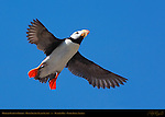 Horned Puffin in Flight, Duck Island, Puffin Island, Tuxedni Bay, Cook Inlet, Alaska
